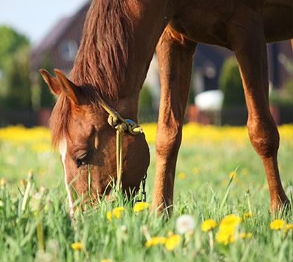 Pferd frisst auf einer Wiese