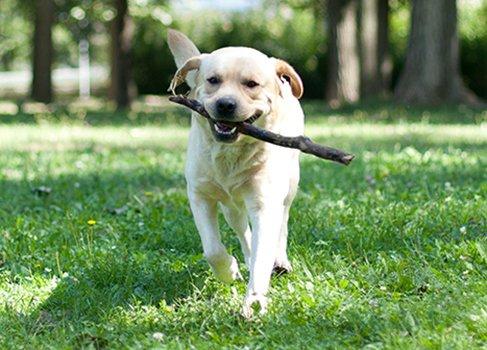 Hund mit Stock auf einer Wiese