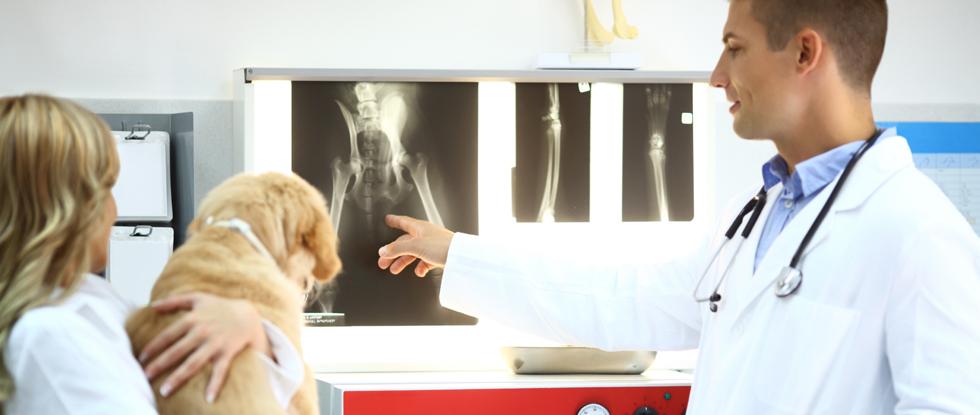 Hund mit Hüftpysplasie beim Tierarzt