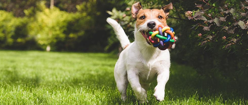 Hund mit Spielzeug auf der Wiese