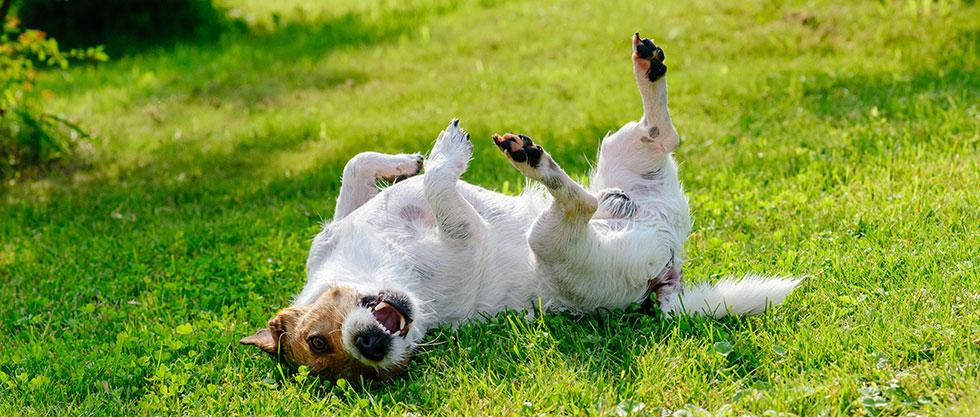 Hund wälzt sich auf der Wiese