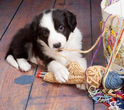 Welpe spielt mit Wolle