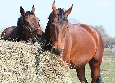 Pferde beim Fressen