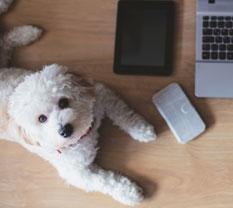 Hund liegt auf dem Schreibtisch