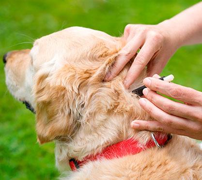 Die Zecke beim Hund entfernen
