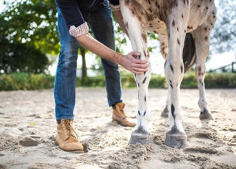 Ankaufsuntersuchung beim Pferd