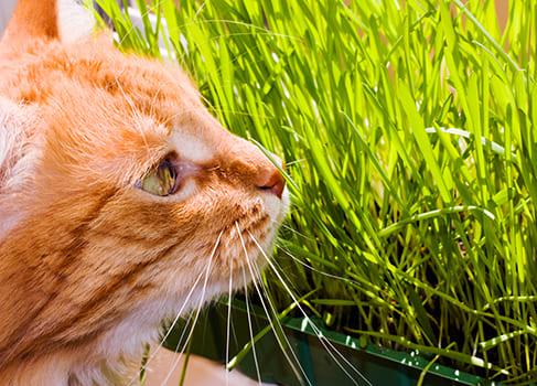 Katze frisst auf dem Balkon Katzengras