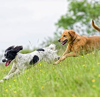 Hunde rennen über die Wiese