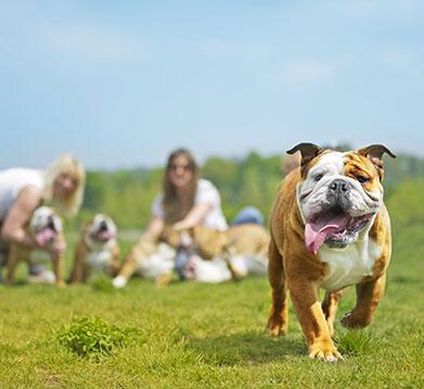 Englische Bulldogge auf der Wiese