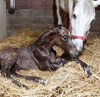Fohlen nach der Geburt mit der Mutter