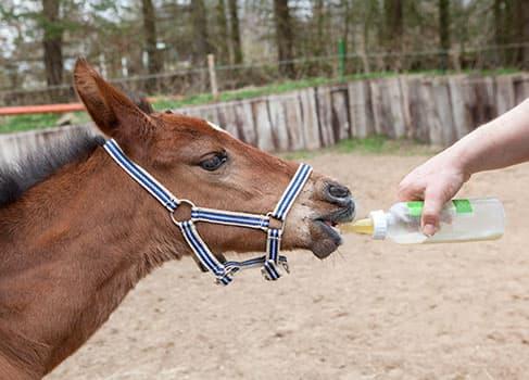 Das Fohlen trinkt Milch aus der Flasche