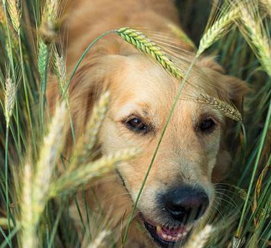 Hund läuft durch das Getreidefeld