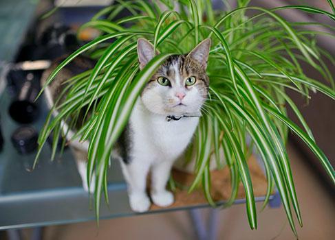 Grünlilien zum Knabbern für Katzen