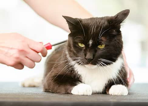 Die Haut der Katze wird beim kämmen untersucht