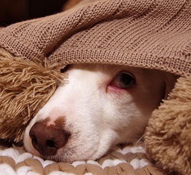 Kranker Hund liegt unter der Decke
