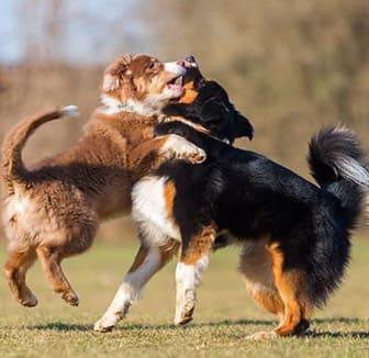 Der Hund wird von einem anderen Hund angegriffen
