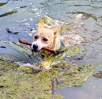 Hund schwimmt im See zwischen Algen