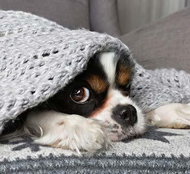 Hund schaut utner einer Decke hervor