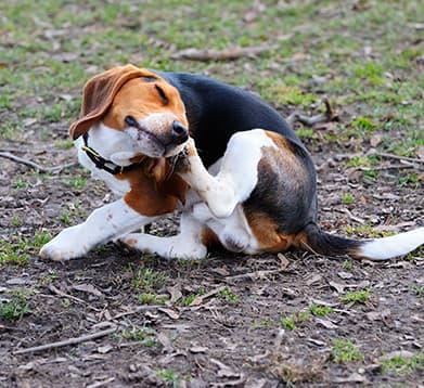 Hund sitzt auf der Wiese und kratzt sich