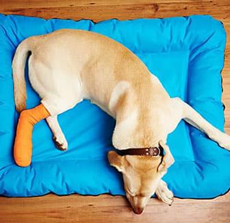 Hund mit gebrochenem Bein