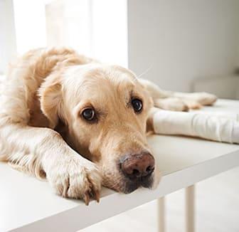 Der Kreuzbandriss beim Hund wird behandelt