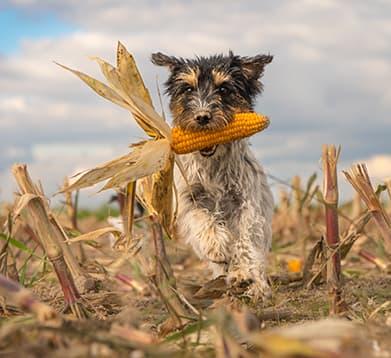Hund rennt mit einem Maiskolben über das Feld