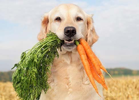 Hund trägt Möhren im Maul