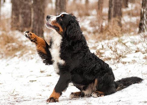 Hund mit Pfotenproblemen durch Schnee
