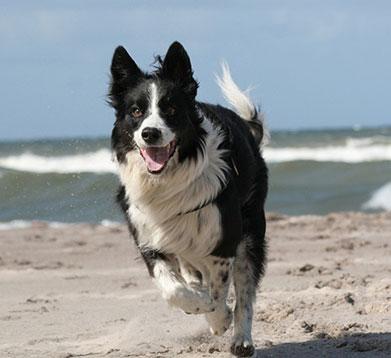 Hund rennt über den Strand