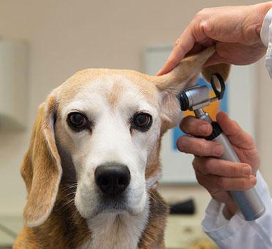 Der Hund wird vom Tierarzt untersucht