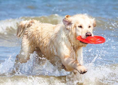 Hund in der Nordsee mit Frisbee im Mund