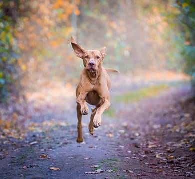 Hund läuft