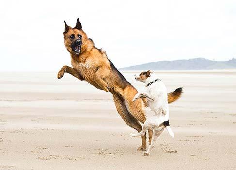 Zwei spielende Hunde am Strand