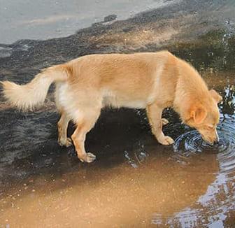 Hund trinkt aus Pfütze
