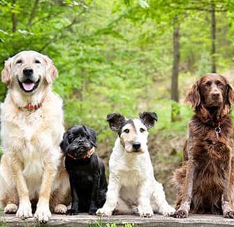 mehrere Hunde