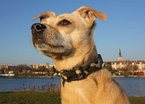 Hund mit Halsband