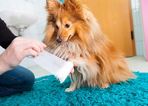 Der Hund bekommt einen Verband