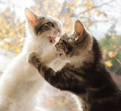 Zwei streitende Katzen auf der Fensterbank