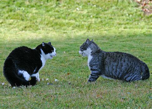Revierkampf zwischen zwei Katzen