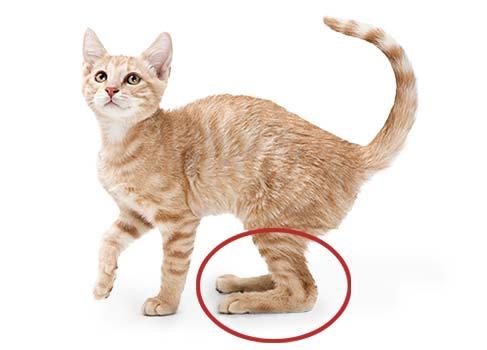 Katze plantigrader Gang
