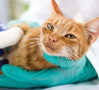 Katze wird vom Tierarzt behandelt