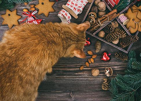 Die Katze schnuppert an den Weihnachtsplätzchen