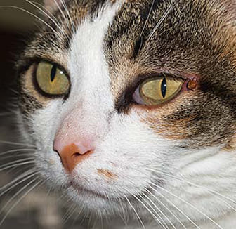 Katzes mit Zecke