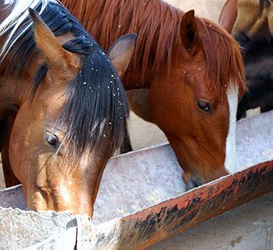 Pferde bei der Fütterung