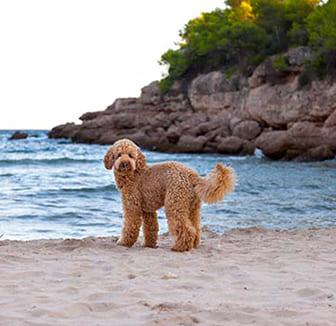 Hund steht am Strand