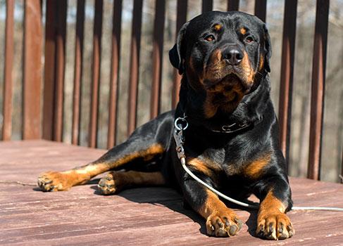 Listenhund an der Leine