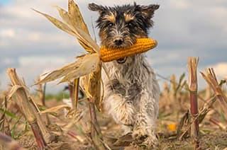 Hund mit Maiskolben im Maul