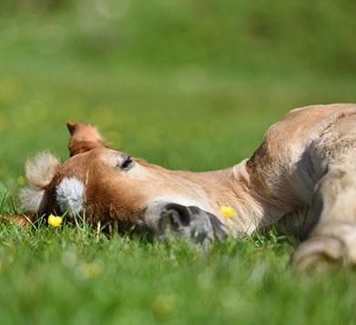 Schlafendes Pferd