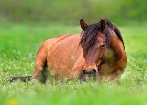Pferd liegt auf der Weide