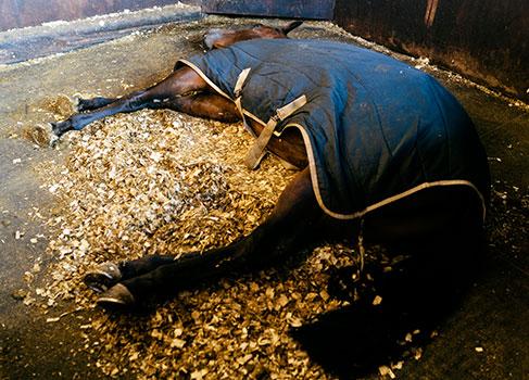 Pferd schläft im Stall